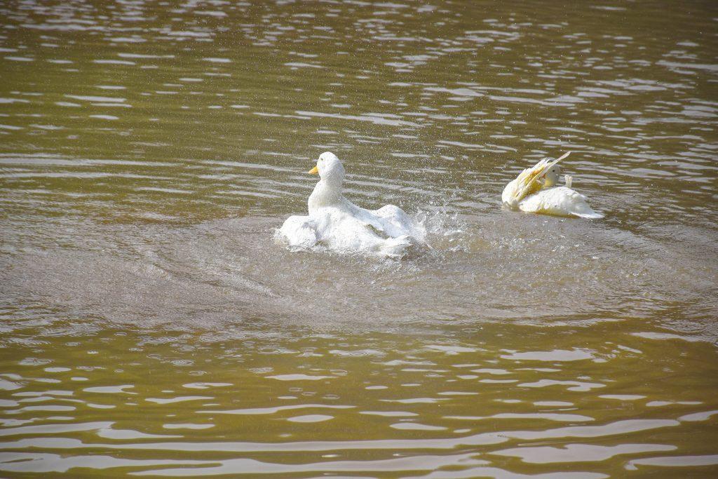 白鹅 1 1024x683 - 我在湿地公园拍鹅