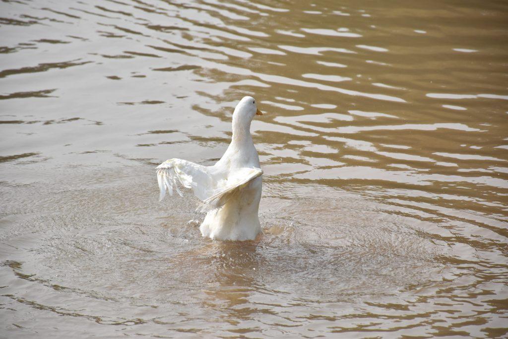 白鹅 2 1024x683 - 我在湿地公园拍鹅