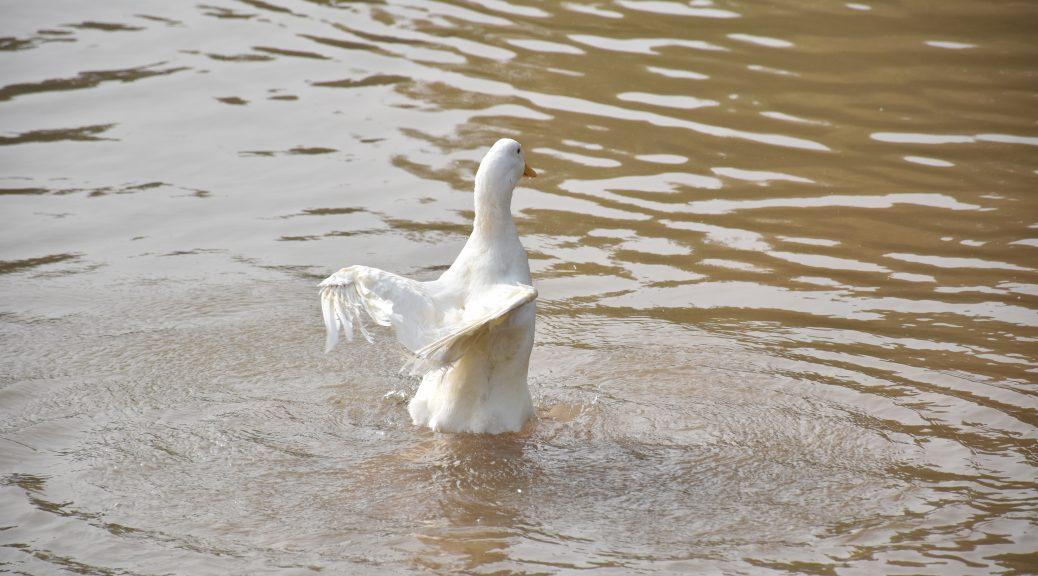 湿地公园 白鹅 2 1038x576 - 我在湿地公园拍鹅