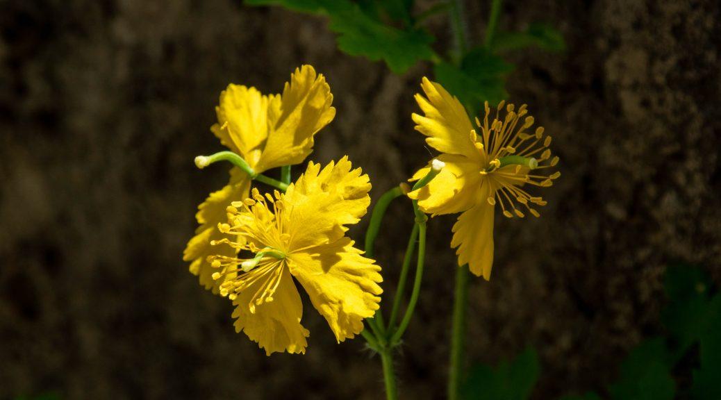 黄色の小花 1038x576 - 春(夏?)游兴隆山
