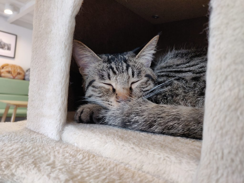 猫 1 1024x768 - 猫咖一日游